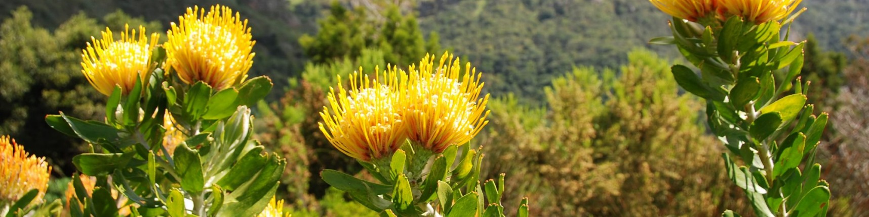 South Africa, native flora
