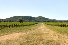 Mudgee, vineyard