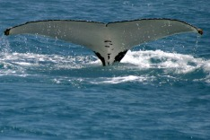 Whale migration season runs from May through to November.