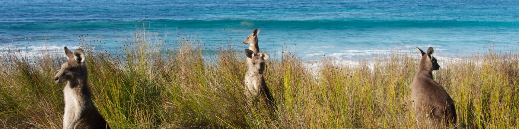 Batemans Bay, coast, kangaroos