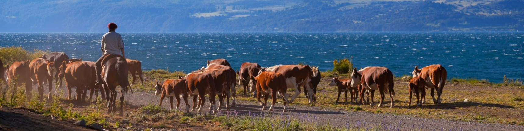 Argentina, countryside, farmer herding cows