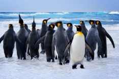 Falkland Islands, penguins, coast