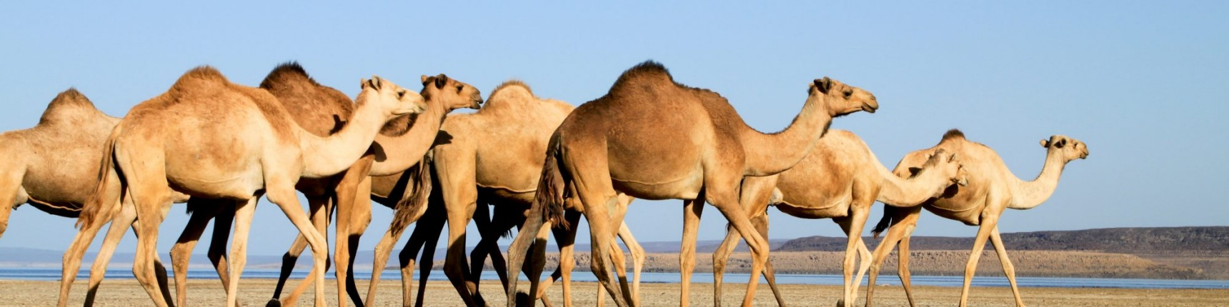 Camels march through the desert.