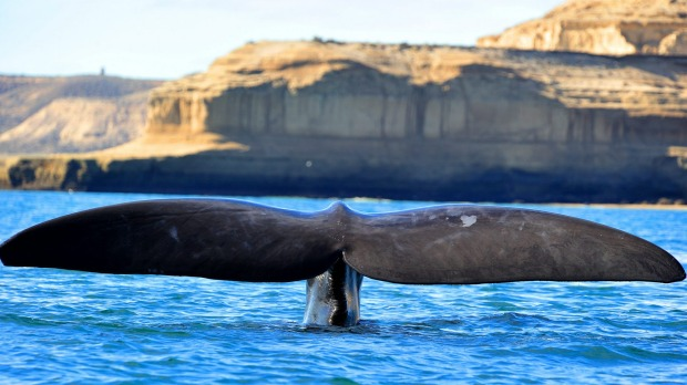Southern right whale, Peninsula Valdes, Patagonia, Argentina.