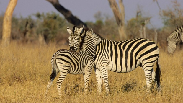 A Burchell's zebra interacting with her foal.