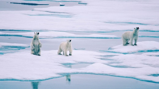 There are bears out there: Polar bears are a common sight.