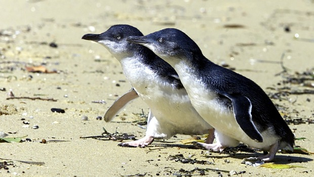"""The """"nervous"""" birds, spotted farther west than usual, are often seen in groups."""