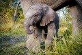 Unchained: A baby elephant in the wild.