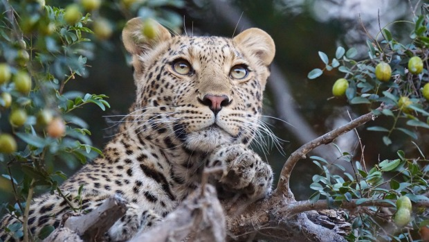 At Mashatu Game Reserve, Botswana, word came through of a leopard settled high up in an old Mashatu tree, so with the ...