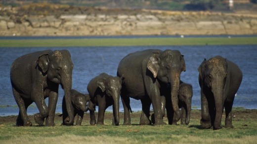Elephants at Minneriya National Park.