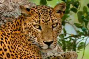 Spotted: A leopard in the Yala National Park.