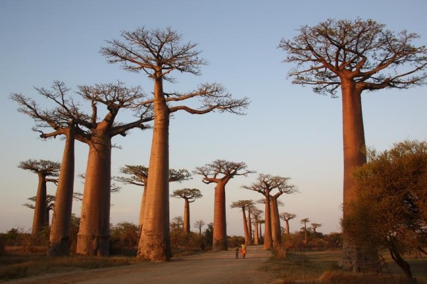 """""""It's impossible to take a bad photo of the Avenue de Baobabs, particularly at sunset""""."""