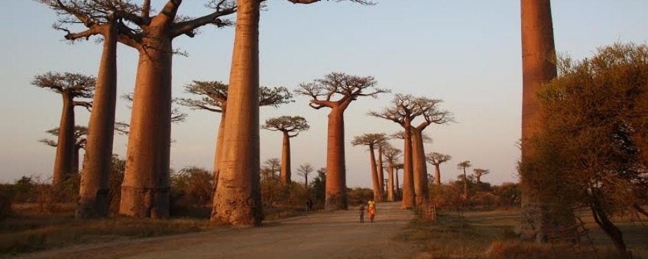 Avenue of the Baobabs, Madagascar: It's impossible to take a bad photo of the Avenue de Baobabs (as it's known in French-speaking Madagascar), particularly at sunset. It's like waiting for the sunrise at Uluru. A crowd gathers, cameras in hand, or on tripods, and waits. There's plenty of time to walk along the road, strolling the gauntlet of girls selling miniature carved baobabs; I caved, and bought one, then sat at the base of one of these massive, upside-down trees for a while, taking everything in. Up close, they're more like stone landforms than living things. When the sun softens, the trees change from elephant-grey to gold and a few Malagasy people amble into view, bringing our pictures to life: boys on bicycles, zebu chariots, farmers walking home from their fields, and these two girls – the souvenir-sellers I'd bought the wooden tree from – whose presence really shows the scale and stark beauty of this incredible place.