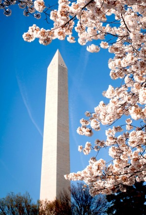 Cherry blossoms: Springtime sees Washington turn pink.