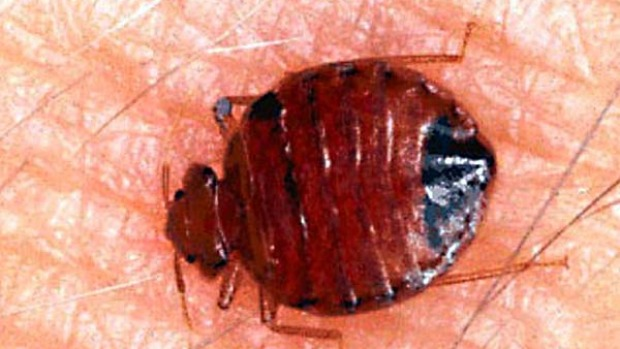 Bedbugs are infesting New York City in unprecedented numbers.