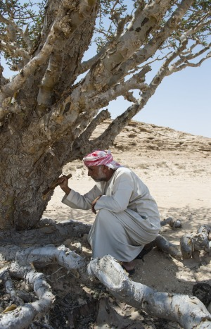 Industry: An Omani man collects frankincense resin.
