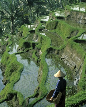 Steep terraces: A farmer looks across  rice fields.