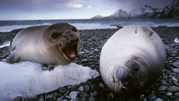 Smelly: Southern elephant seal weaners on South Georgia Island.