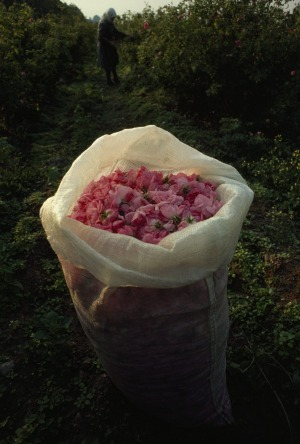 A bag filled with fresh-picked rose petals in Valley of the Roses, Bulgaria.