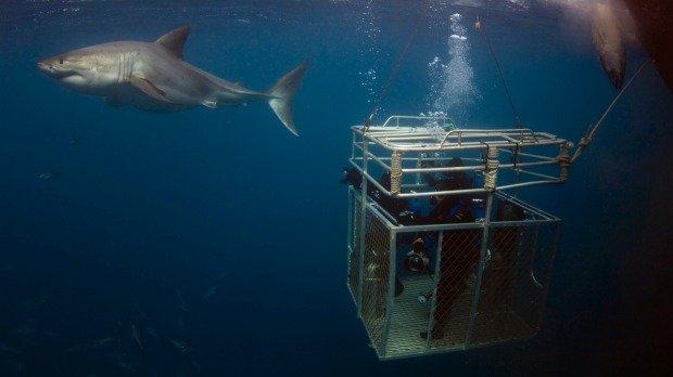 Awe-inducing: cage diving with great white sharks.