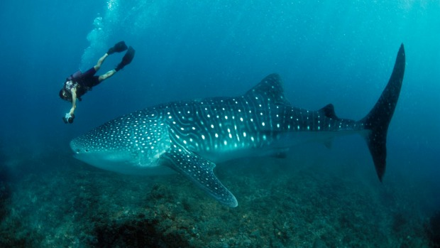 Swimming with whale sharks is heart-joltingly dramatic.