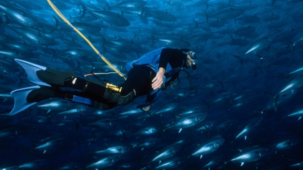 One of South Australia's must-do activities: swimming with bluefin tuna.