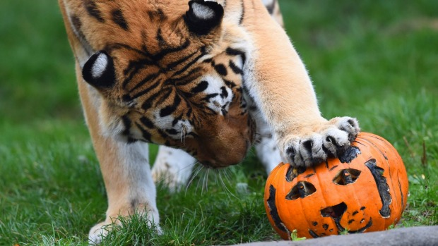 Tiger Lailek sniffs at  a meat-filled Jack-o-lantern at Hagenbeck Zoo in Hamburg, Germany.