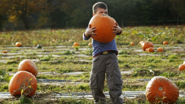 A boy struggles to lift a pumpkin at Tulleys Farm pumpkin patch during their Halloween festival, near Crawley in ...