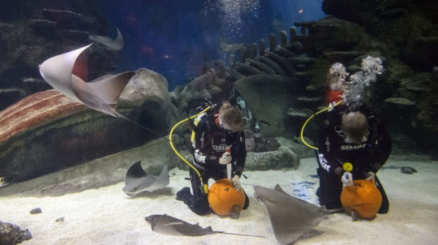 Divers compete in a pumpkin carve-off in a fish tank during a photo call to mark Halloween season at the London Aquarium ...