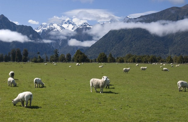 Grazing sheep with snow capped Mount Cook in New Zealand in the background