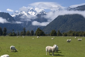Serene scene: Grazing sheep with snow capped Mount Cook in background.  New Zealand has got the lot.