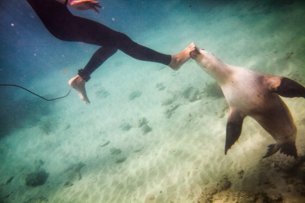 Wild sea lion play bites the foot of a swimmer, Baird Bay, South Australia.