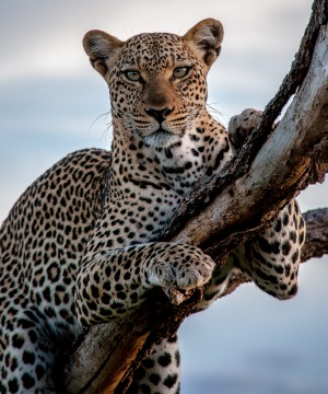 After spending most of the afternoon's game drive not seeing much, we started back to camp a little dejected. As we ...