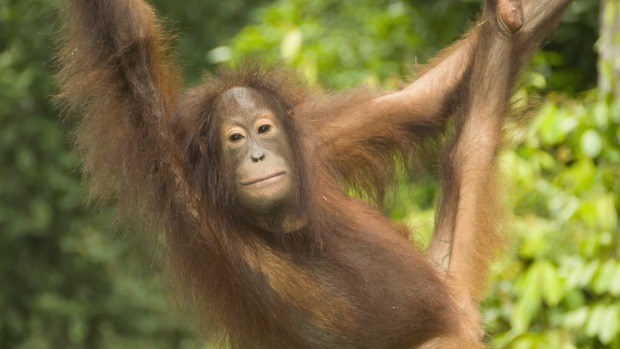 Sustainable travel: An orangutan at the Sepilok Orangutan Rehabilitation Centre in Malaysia.