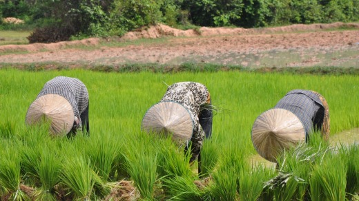 Hard at work: Women tend rice paddies near Angkor Ban.