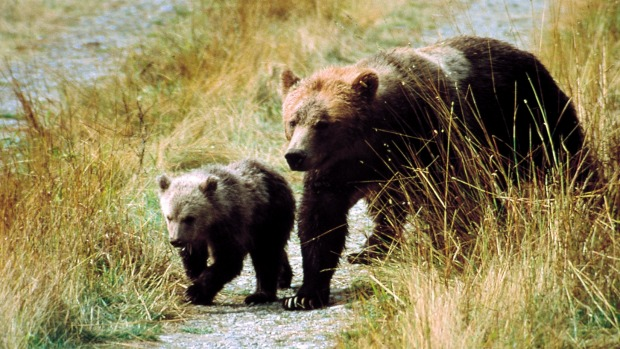 The beautiful west coast of British Columbia, Canada is home to an amazing array of animals, including the grizzly bears.