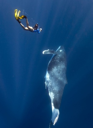 Swimming with humpback whales in Tonga.