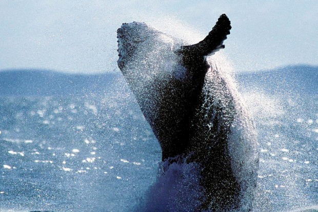 Humpback whale off the coast of Fraser Island, Queensland. There's a lot to explore on the world's largest sand island.
