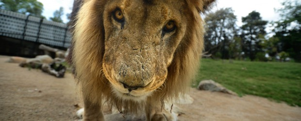 A male lion takes a closer look at visitors at the Melbourne Zoo.