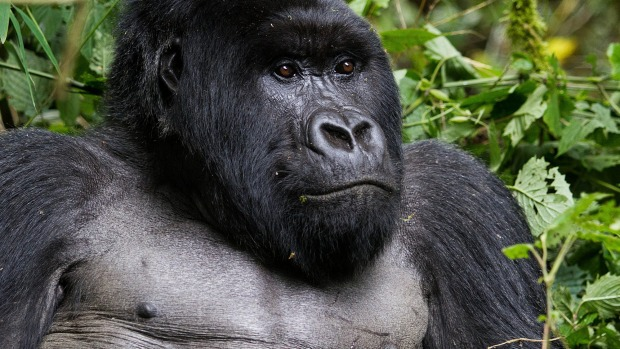 A silverback mountain Gorilla, member of the Agashya family is pictured in the Sabyinyo Mountains of Rwanda.