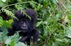 A baby mountain Gorilla, member of the Agashya family, is pictured in the Sabyinyo Mountains of Rwanda.