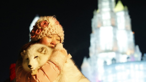 A woman takes a souvenir picture with a white fox in front of ice sculptures illuminated by coloured lights during the ...