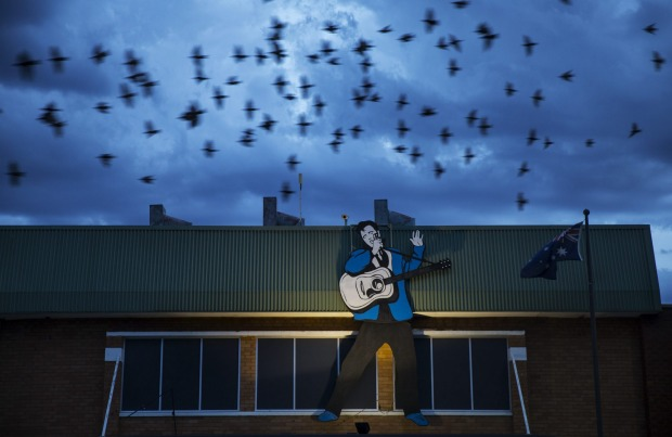 Birds flying past the Elvis Billboard on which is on on top of the RSL in Parkes.
