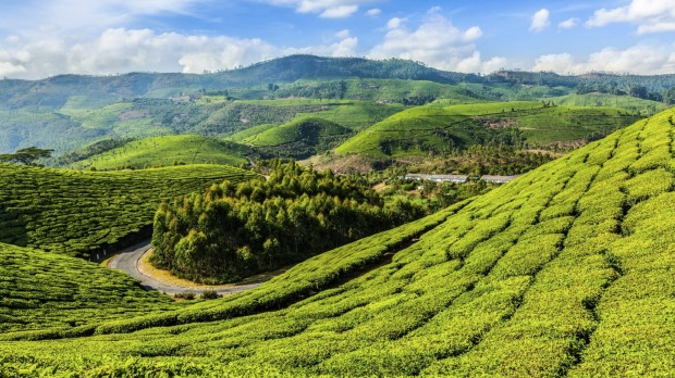 Welcome to the jungle: Green tea plantations in Munnar, Kerala, India.