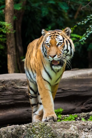 The holy grail: A Bengal tiger.