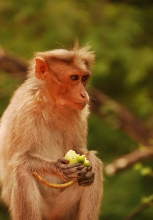 A macaque at Chinnar National Park.