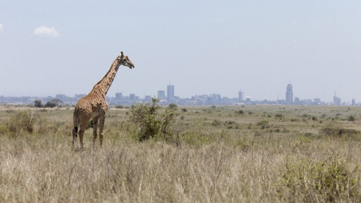 Giraffe grazing with the skyline of Nairobi, Kenya.