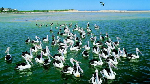 Pelicans gather at The Entrance for their daily feed.