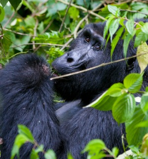 See gorillas in the wild on this 15-day Uganda tour.