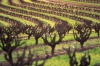 Wine counntry: Vineyards in the Barossa Valley, South Australia.